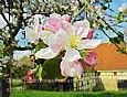 Hohenloher Freilandmuseum - Apfelblüte